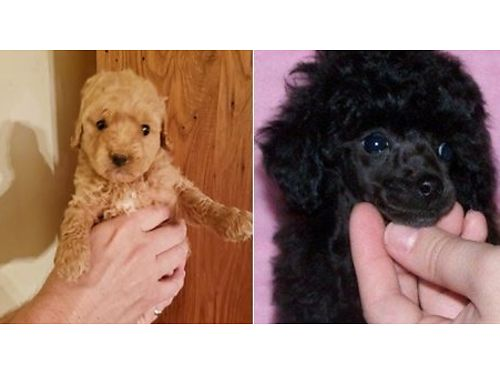 POODLE  YORKI-POO PUPPIES Toy  Teacup Size Red  Black male  female UTD shots  worming Heal