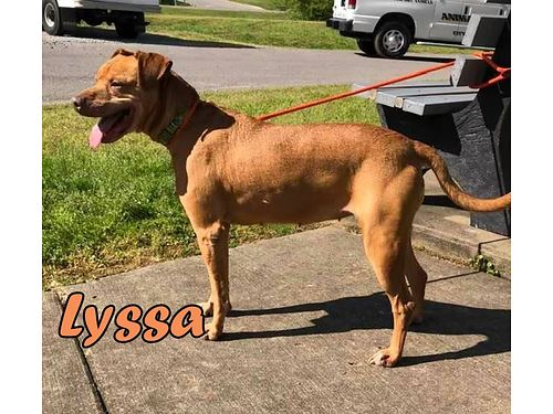 LYSSA a mixed breed girl that gets along with cats dogs and kids Adoption fee 55 includes spay v