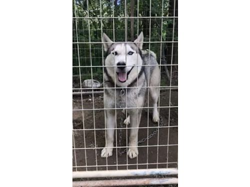 SIBERIAN HUSKIES Pure Bred Reg 4yr old Female wPapers and 8mo old Female Daughter Silver w