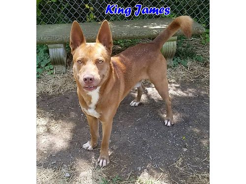 KING JAMES is a pretty calm adult pit mix looking for a new owner Adoption fee 110 includes neuter
