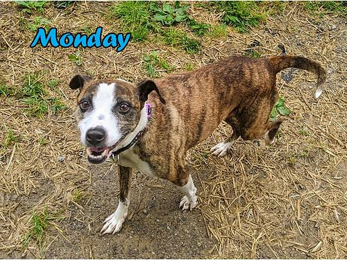 MONDAY is a scared but friendly female terrier mix that someone dumped in the fence at the shelter w
