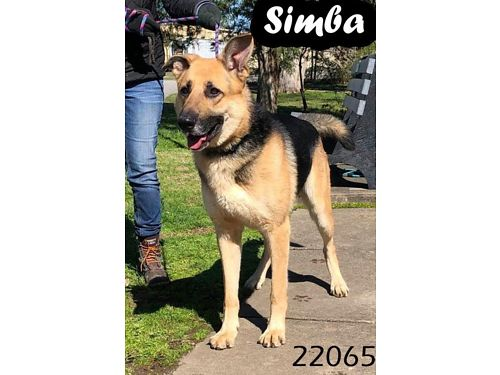 SIMBA is a gorgeous male German Shepherd mix He is about 2 years old Adoption fee 110 includes ne