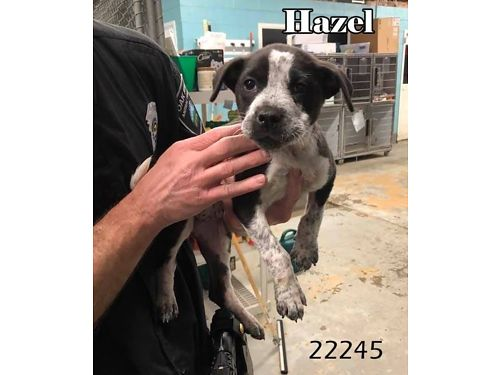 HAZEL is Australian Cattledog mix puppy Adoption fee 110 includes spay vaccines microchip flea