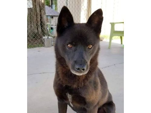 TRACKER is a 2 year old male Schipperke mix Well mannered walks on a leash Adoption fee 100 incl
