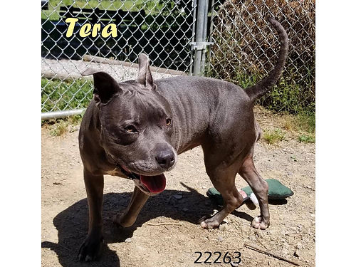 TERA is an 8 year old female pit mix Really sweet good with other dogs cats kids Adoption fee