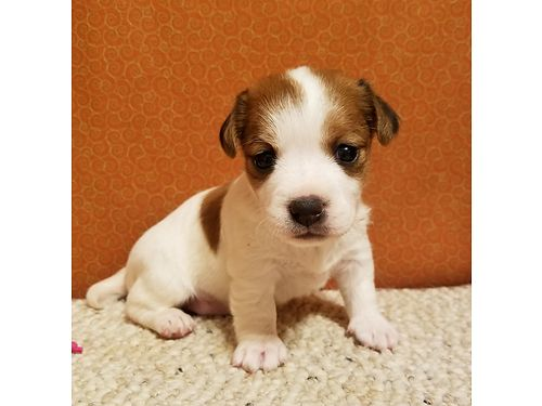 JACK RUSSELL TERRIER PUPPIES CKC registered shots  wormed males  females 350 each Also have